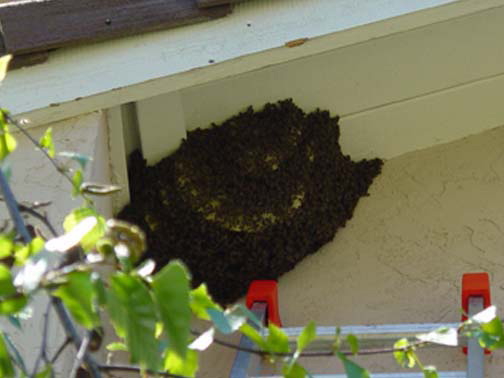 Bee Removal San Diego This is a      picture of a hive hanging underneath an eave.