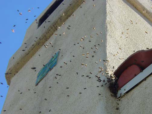 Bee Removal San Diego This is      a picture of a swarm that is in the eave of a house.